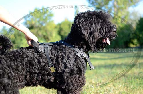 Walking and training Black Russian Terrier harness