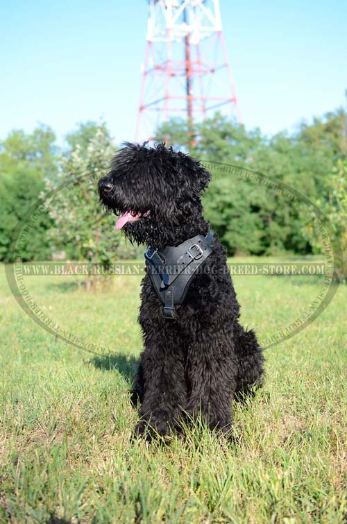 Best value leather Black Russian Terrier harness