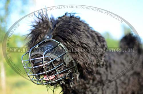 Training Black Russian Terrier muzzle